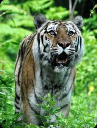 Tygrys - koszulka