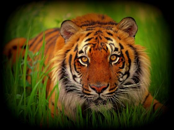 Koszulka z tygrysem