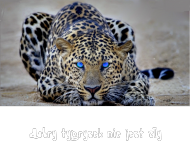 Torba - Oficjalny tygrys kanału