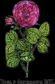 Róża damasceńska (Rosa x damascena Mill.) - biała